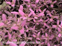 Detalhe de flores e brácteas da Congea tomentosa