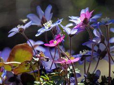 Sinivuokkoja, kuvaaja Ari Kekki Finland, Gardens, Nature, Flowers, Plants, Naturaleza, Florals, Planters, Nature Illustration