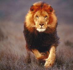lion - Buscar con Google