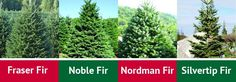 What's your Christmas tree personality? Are you a traditionalist? decorator? or like a funky modern twist? How to Choose the Perfect Christmas Tree / Pike Nurseries