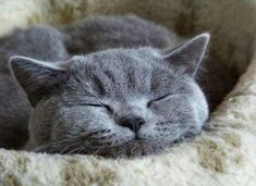 If you are looking for a truly unique and beautiful kitten you don't have to look much further than the Russian Blue breed. Delightful Discover The Russian Blue Cats Ideas. Grey Cats, Blue Cats, British Blue Cat, British Style, Chartreux Cat, Russian Blue, Sleepy Cat, Cat Sleeping, Beautiful Cats