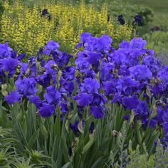 Perennials for Spring | Perennial Resource