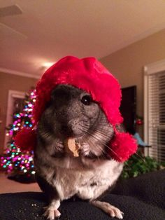 Chinchillas don't know about Baby Jesus or about the manger, but they enjoy warm cozy Christmas festivities none the less.