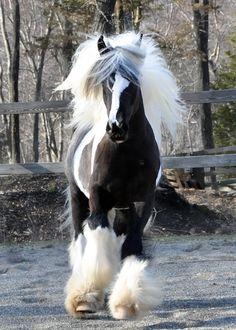 Gypsy Vanner Horse Westmoreland Peppermint  www.gypsyvannerforsale.com