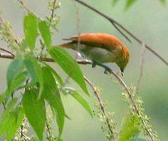 Cinnamon Ibon(Hypocryptadius cinnamomeus)