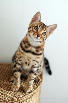 Bennie, the Bengal cat