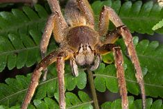 The Brazilian wandering spider seeks out its prey. Credit: Nashepard | Shutterstock