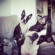 . Did you say cookie?! . Featuring an adorable photo tagged #BostonTerriersForever .