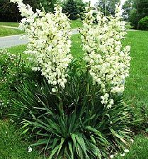 """Yucca """"These are distinctive accent, silhouette or specimen plants. They produce spectacular spikes of bell-shaped white flowers, often up to 2 feet long. The flowers open late in the afternoon so that the pollen is ripe and ready for transfer to the stigma shortly after dark, awaiting a special yucca moth later in the evening for pollination."""" (quote from azcentral)"""