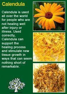 Richard Whelan ~ Medical Herbalist ~ Calendula - Another! Healing Herbs, Medicinal Plants, Natural Healing, Natural Medicine, Herbal Medicine, Holistic Medicine, Herbal Tinctures, Herbalism, Home Remedies
