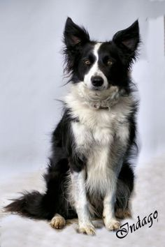 Border collie with enormous ears!