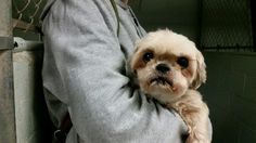 r Simsbury, CT Police Department https://www.facebook.com/groups/CTLOTDogSearchMgmt/permalink/449428811907540/ white cream   Do you know me? This nice little dog was found at East Weatoque Street and RT 185 on Sunday 10/18/2015. Call the police if you have any information (860) 658-3100.
