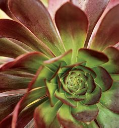 The so-called black aeonium, 'Zwartkop'-from a distance it can read as a shadowy gap in the garden planting, but up close it is stunning. #garden #succulent