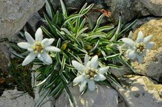 Székelyföld - Erdély Book Tasting, Alpine Flowers, Edelweiss, Amazing Flowers, Outdoor Gardens, Wild Flowers, Succulents, Landscape, Romania