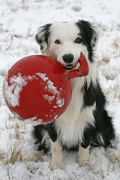 Snow Border Collie Fun