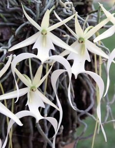 The ghost orchid, Dendrophylax lindenii, a leafless epiphitic flower that haunts the Everglades of Southern Florida, Cuba, and the Bahamas, is one of the rarest orchids in the U.S.
