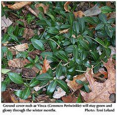 Vinca stays green all winter