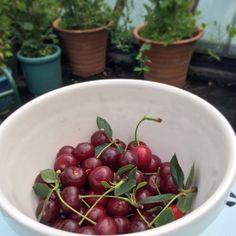 Fresh morello #cherries