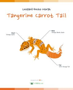 A tangerine carrot tail leopard gecko has a tangerine or orange coloration throughout the body and head, and 15% or more orange coloration on the tail.