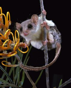 Feathertail Glider, Pygmy Gliding Possum or Pygmy Glider (Acrobates pygmaeus) - native to eastern Australia. Australian Possum, Australian Birds, Australian Flowers, Baby Animals, Funny Animals, Cute Animals, Small Animals, Reptiles, Mammals