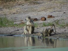 Yellow #Baboons (Papio cynocephalus) at one of the waterholes in #Saadani - playing around and warning other animals of approaching dangers