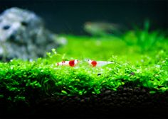 Hello Red Crystal Shrimps