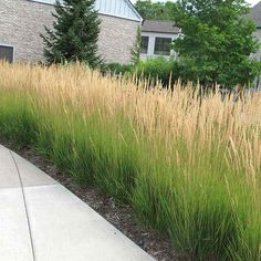 A favorite go-to-grass that blooms long and stands up to harsh winters. Mid-size Hedge for screening or privacy! Versatile and easy to grow, Karl Foerster Reed Grass is one of the showiest, longest blooming mid-size Hedge Plant for the garden. It gives any garden a lift! A favorite landscape perennial among garden designers, this low maintenance Ornamental Grass can quickly provide a sense of enclosure to pathways, pools, patio or decks. Even their blooms can help block noise to a...