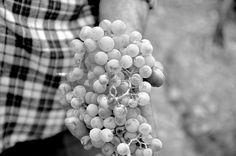 Manos de 80 años haciendo su vendimia...no hay sombreros en el mundo para su dedicación el conjunto de todo esto crea unos de los mejores vinos del mundo #ribeirasacra . . #Galicia #vinos #winelover #wine