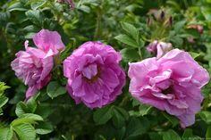 'Charles Albanel' Rose Photo