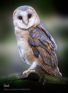 go4photos:  Barn Owl (Tyto alba) by jcone                                                                                                                                                                                 Mais