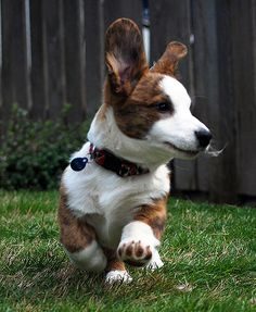 Pretty Animals, Cute Animals, Cardigan Welsh Corgi Puppies, Corgi Husky, Kittens And Puppies, Puppy Pictures, Rottweiler, Kittens Cutest, Cat Day