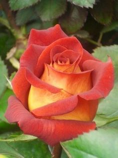 If I could find this rose, I would buy it and plant it.Have never seen this exact Rose and it is Lovely and my mother's name ~She would have loved it. Orange Roses, Red Roses, All Flowers, Pretty Flowers, Beautiful Roses, Beautiful Gardens, Foto Rose, Coming Up Roses, Geraniums