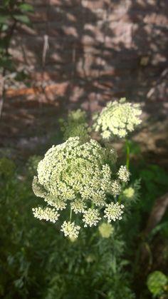 Flor de Zanahoria