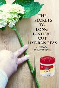 Love hydrangeas? Learn the secrets to long lasting cut hydrangeas! These simple tips will keep your hydrangeas fresh and beautiful for a week or longer.