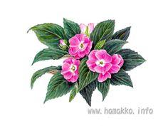 Botanical Art, Botanical painting, Flower painting. New Guinea impatiens