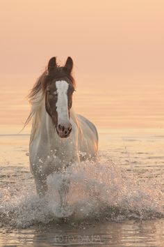 Foto Zdanka, horse, by the beach, hest, water, splashes, sunset, sunrise, beauty, beautiful, gorgeous