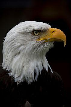 classic...Bald eagle