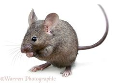 """House Mouse - John Russell •  Why do people find mice ugly? Most of the time they're super cute like this little guy. #My son had some pet mice and I watched them. They would sit back on their haunches and eat food with their front paws. Their """"fingers"""" operate like ours do. Facts and observation changed my opinion of them."""