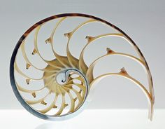 Nautilus shell, cross-section by eberhardphoto, via Flickr