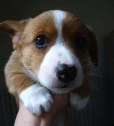 Awwwwww cute baby corgi!