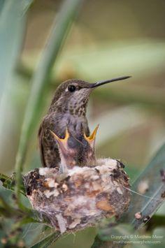 アンナハチドリ Anna's hummingbird (Calypte anna)