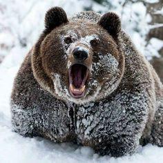 Brrr  Bear