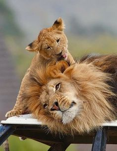 KING OF the JUNGLE Letting His Young One Give His Mane a Bath :D