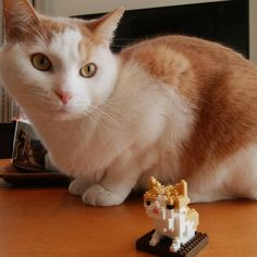 """11 mentions J'aime, 1 commentaires - erinco&chiroru (@erincochan) sur Instagram: """"チロちゃんナノブロック作ったよー(^^) まんざらでもないみたいよ  #ねこ #ねこ部 #にゃんすたぐらむ #にゃんこ #ふわもこ部 #love  #cute #猫 #cat #ねこすたぐらむ…"""""""