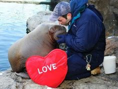 """Wildlife Conservation Society'sNew York Aquarium'stwenty-month-old baby Pacific walrus, Akituusaq, shows his love to Keeper Paul Moylett for Valentine's Day.   """"The winter months are the best time to visit the Aquarium when the walruses enjoy the cold weather,"""" WCS said.Photo by Julie Larsen Maher ©WCS"""