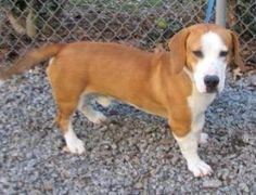 MARIETTA, GA....URG'T!  Meet LUCAS an adoptable Basset Beagle blend hound dog in Marietta. He's a super sweet, super cute 10mo old 43bs boy who got lost  New Years Eve- likely frightended by  fireworks. He'll be neutered tested for HW & chipped when adopted. He's in run 47 & his ID 551669. He knows sit & stay & walks well on leash. When calling the shelter please use THE ID NUMBER Cobb County Animal Shelter, 1060 Al Bishop Drive Marietta, Georgia 30008 to #adopt call (770) 499-4136 --pin…
