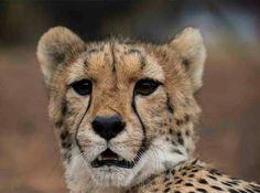 cheetah portrait Conservation, Cheetah, Lion, Portrait, Cats, Animals, Leo, Gatos, Animales