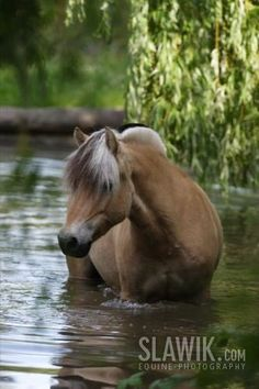Fjord / Westlands Pony
