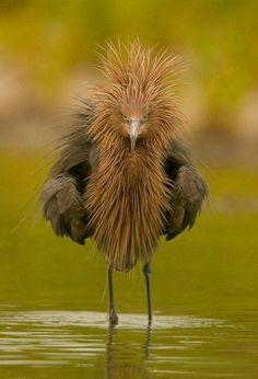 Reddish Egret - Pixdaus