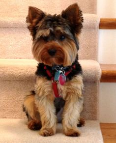 My handsome yorkie, Marley! #yorkie Yorkies | handsome guys picture handsome haircuts